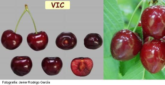 Variedad de Cereza VIC, Cereza de maduración tardía