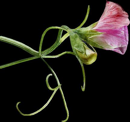 tubes_fleurs_tiram_667