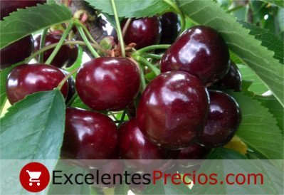 cherry characteristics, characteristics of the most valued cherry, firmness, size, flavor, Better cherry characteristics...