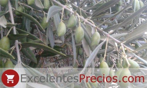 Variedad de aceituna Cornicabra, aceituna verde, aceituna de mesa tamaño medio