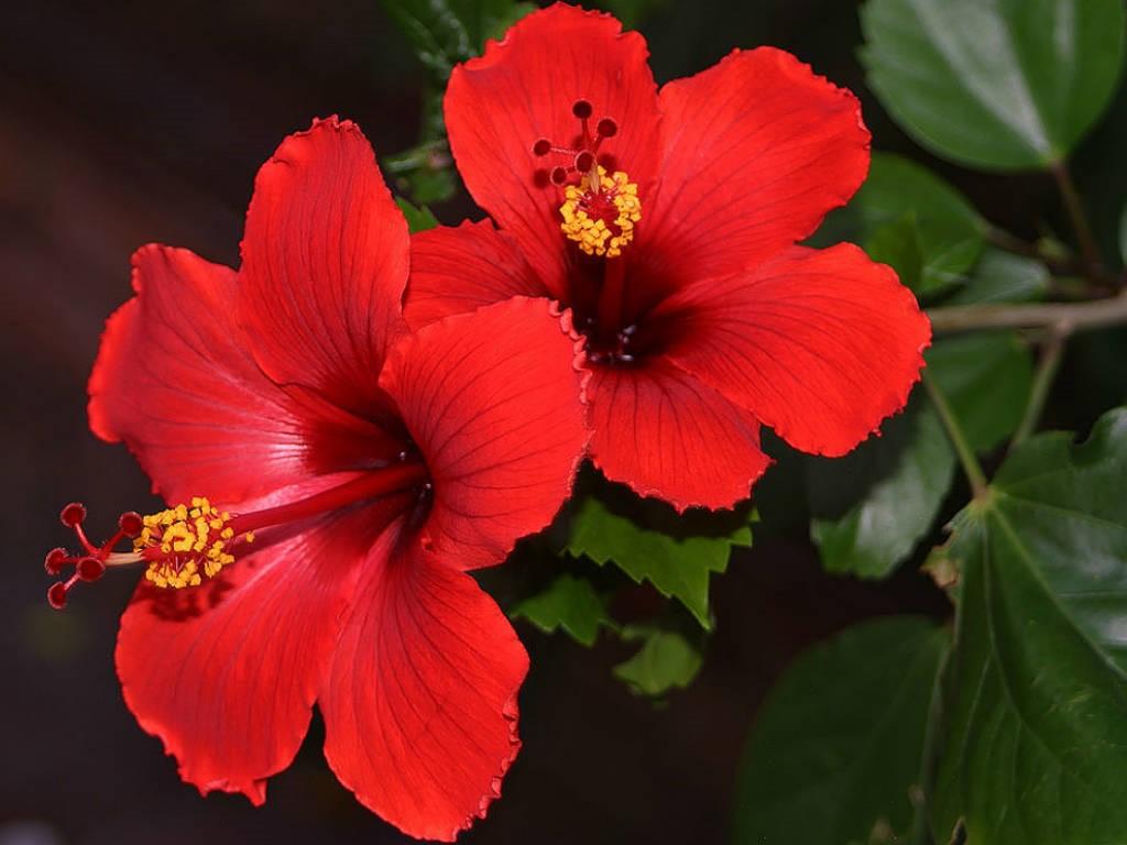 Китайский цветы названия фотографии
