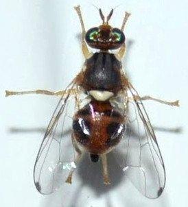 female olive fly with oviscapto, bactrocera oleae