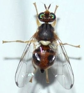 mosca del olivo hembra con oviscapto