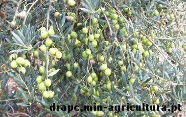Olivo Cobrancosa, oliveira Cobrancosa