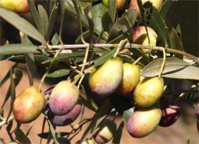 Castellana or Verdeja olive tree