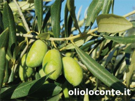 Ravece olives, Ravece olive tree