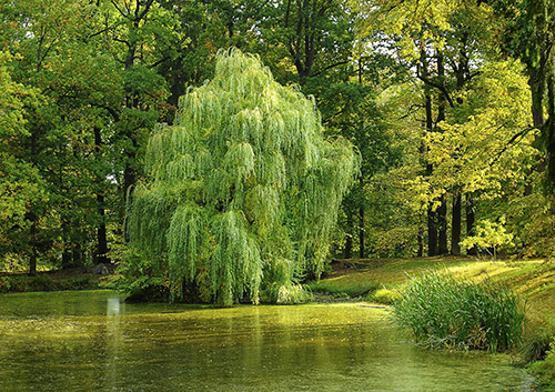 The lovely willow tree by a pond.