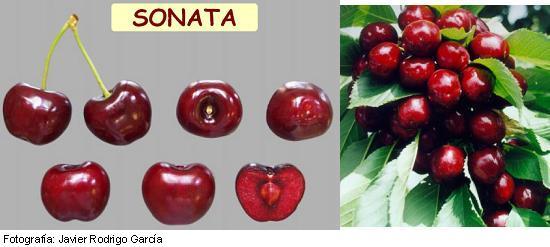 Cerezo Sonata, variedad de cereza Sonata, cereza de maduración tardía