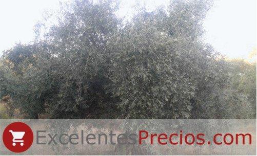 Árbol Cornicabra, olivo Cornicabra, aceituna cornicabra, fotos olivos cornicabra