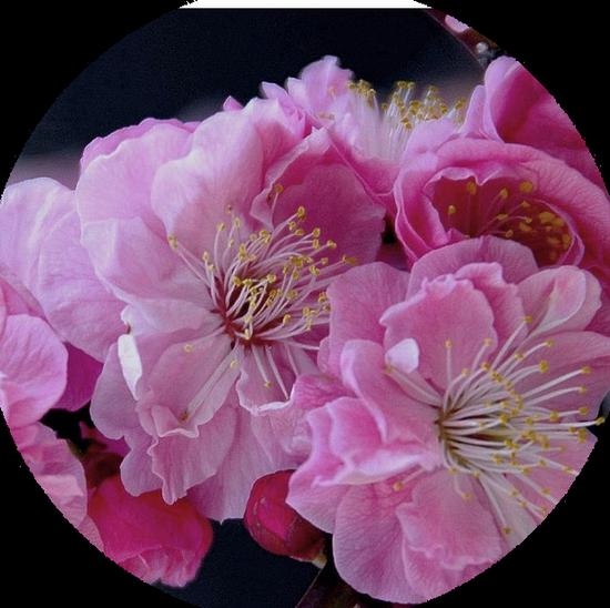 tubes_fleurs_tiram_191
