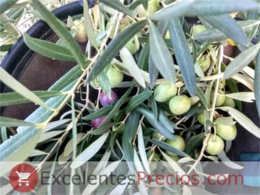 Cuándo se recogen las aceitunas para aliñar, recogida de aceituna de verdeo, cesta para recogida aceituna