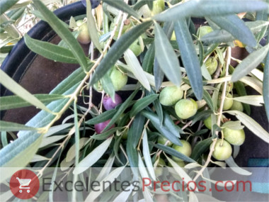 When the olives are harvested for dressing, olive picking green, basket for olive picking, olive harvest season