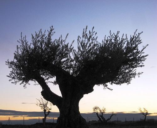 Imagem de uma oliveira