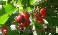 Types of cherry: Sweet Early