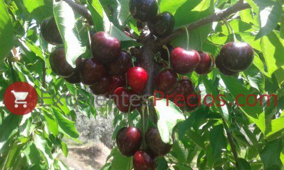 Cosecha de Cereza 3-13, variedad de cerezo buena resistencia al cracking, 13S-3-13, cereza madura 3 13, cereza color negro caoba, fotos cerezas