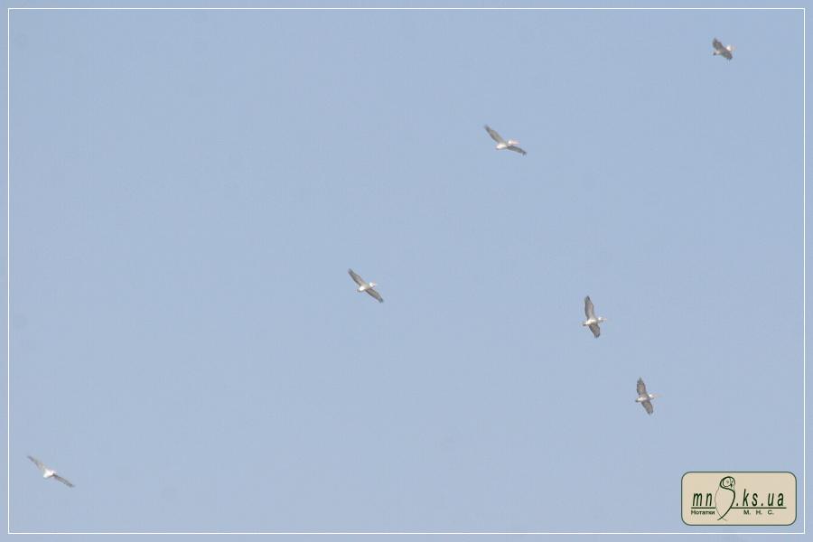 Пелікан кучерявий Pelecanus crispus у Чорноморському біосферному заповіднику