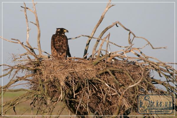 Пташеня орлана-білохвоста на гнізді