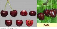 Types of cherry: Sam