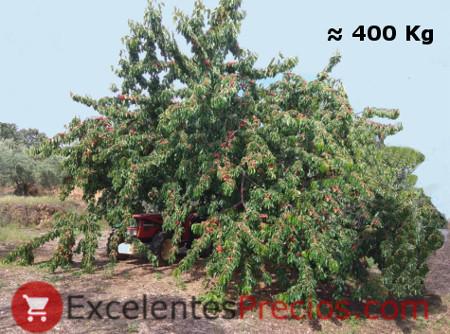 Cuántos kilos de cerezas da un cerezo, cerezo gigante, cerezo máxima producción, cerezo centenario, cerezo enorme, kilos de cereza por árbol