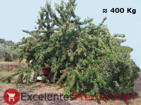 How many kilos of cherries does a cherry, giant cherry, maximum production cherry, cherry centenary, huge cherry, How many cherries does a cherry tree produce, kilos of cherry per tree