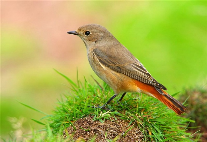 Bishtkuqi Common_Redstart_1475