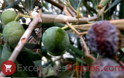 barrenillo del olivo, aceitunas secas, daños en aceitunas, foto barrenillo