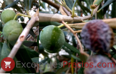 olive tree borer, dried olives, damage to olives, borehole photo