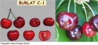 Types of cherry: Burlat