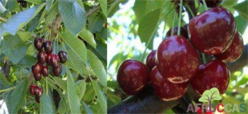 Cereza Regina, variedad de cerezo Regina, cereza de maduración media