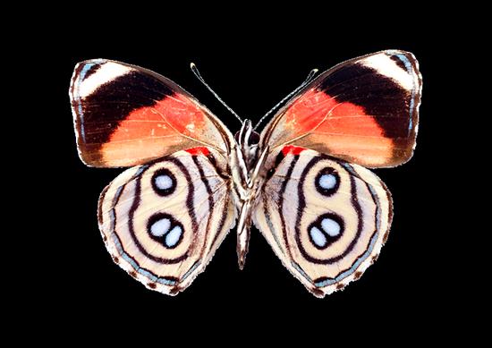 tubes_papillon_tiram_773