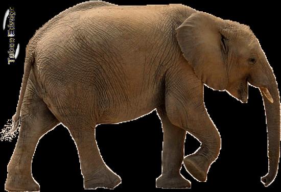 tubes_elephants_tiram_648