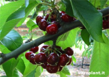 Cereza Early Red (Prime Giant)