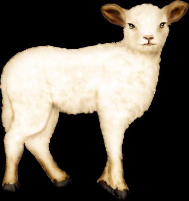 mouton_tiram_14