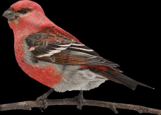 tubes_oiseaux_tiram_185