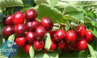 Types of cherry: 4-84