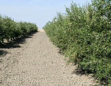 Super high density olive harvester, olive grove hedge, super high density Arbequina
