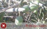 varieties of table olives, Gordal olives, Sevillian Gordal olives