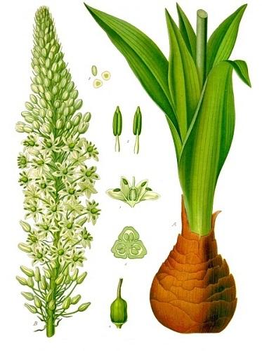 Bishtuku Drimia_maritima_K_hler_s_Medizinal_Pflanzen_277