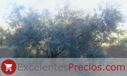 Árbol Picual, Olivo Picual en producción