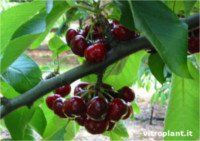 Types of cherry: Early Red