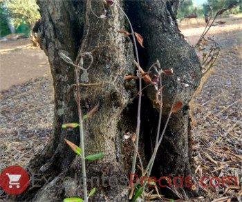 Control de varetas en olivo