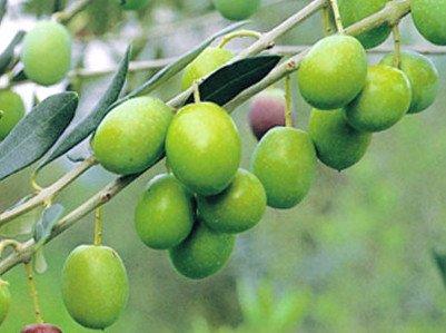Variedad de olivo Bianchera