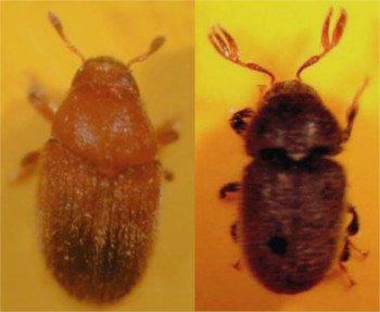 Barrenillo Phloeotribus Scarabaeoides y Hylesinus Oleiperda