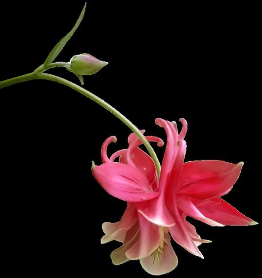 tubes_fleurs_tiram_221