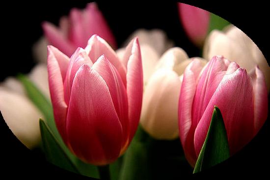 tubes_fleurs_tiram_196