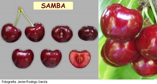 Cerezo Samba, variedad de cereza Samba, cereza de maduración media