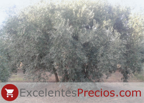 Olive Tree of Badajoz, olive grove centenary