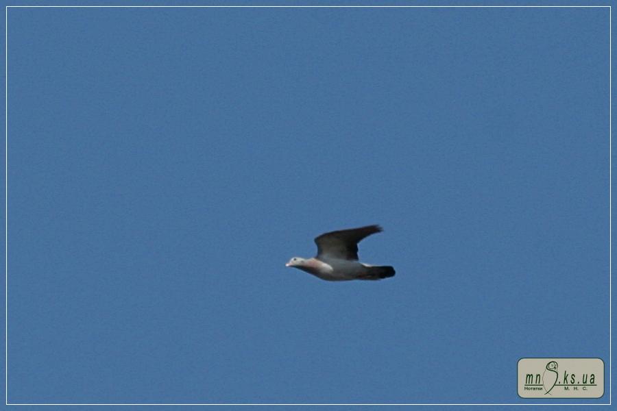 Голуб-синяк (Columba oenas) на прольоті в Чорноморському біосферному заповіднику