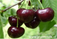 Types of cherry: Kordia