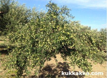 olive variety Nocellara del Belice, nocellara olive tree